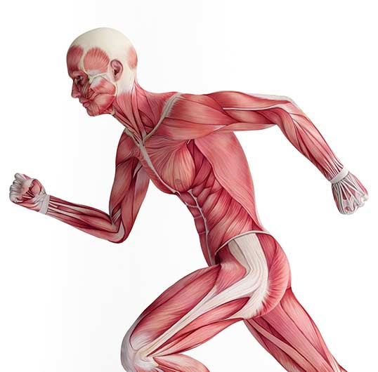 Muscles worked during exercise and workout