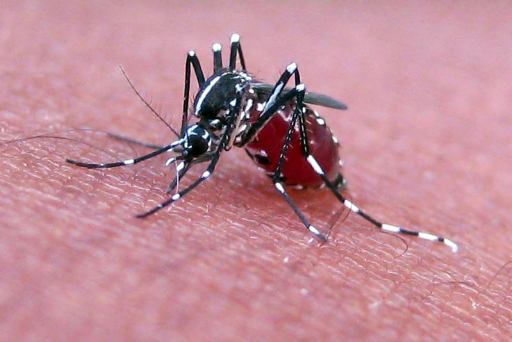 mosquito burst on drinking blood
